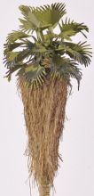 Washington/Mexican/Califonia Palm - (Click picture for options)